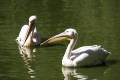 Twee pelikanen sluiten samen Royalty-vrije Stock Foto