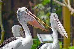 Twee pelikanenclose-up in een tropisch park op een groene grasweide stock fotografie