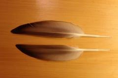Twee pen-veren van eend (Anaplatyrhynchos) Stock Afbeeldingen