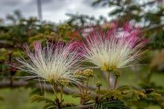 Twee Perzische bloemen van de zijdeboom stock afbeelding