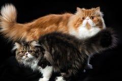 Twee Perzische katten van verschillende kleuring Stock Afbeeldingen