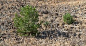 Twee Pijnbomen Stock Fotografie