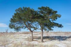 Twee pijnboom-bomen op het gebied Stock Foto's