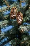 Twee Pinecones stock afbeeldingen