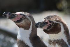 Twee pinguïnen stock foto