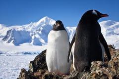 Twee pinguïnen stock afbeeldingen