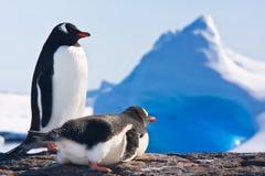 Twee pinguïnen Stock Foto's