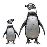 Twee pinguïnen Royalty-vrije Stock Foto