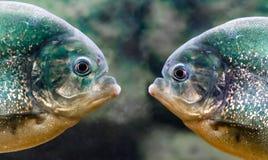 Twee piranha's zijn naast elkaar in water dichte omhooggaand royalty-vrije stock foto