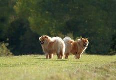Twee Pluizige Honden Stock Fotografie