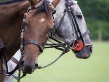 Twee poloponeys die wachten te spelen Royalty-vrije Stock Foto