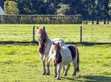 Twee poneys Royalty-vrije Stock Afbeelding