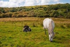 Twee poneys Connemara Stock Fotografie