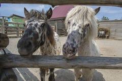 Twee poneys letten op Stock Foto's