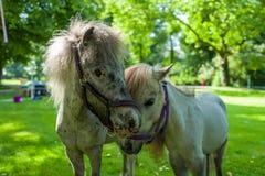 Twee poneys op groene weide stock afbeeldingen
