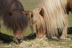 Twee poneys van Shetland Stock Foto's
