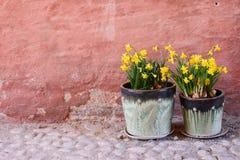 Twee potten van gele narcissen stock foto's