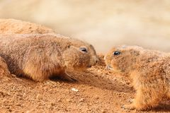 Twee prairehonden in zand in dierentuinpark stock afbeelding