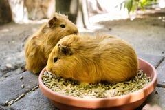 Twee proefkonijnen tijdens maaltijd Stock Fotografie