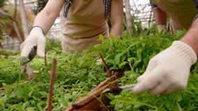 Twee professionele tuinlieden geven voor spruiten en zaailingen in serre, handenclose-up stock footage