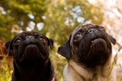 Twee pug gezichten Royalty-vrije Stock Foto's