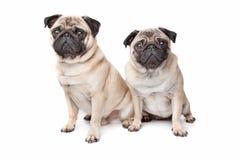 Twee pug honden Royalty-vrije Stock Foto's