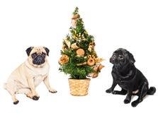 Twee pugs die door een Kerstboom zitten stock foto