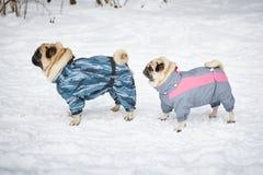 Twee pugs die in kleding lopen Stock Foto
