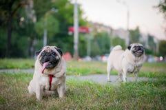 Twee Pugs het Lopen stock foto's