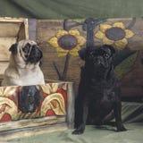 Twee pugs honden Stock Foto
