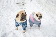 Twee pugs in kleding Stock Foto's