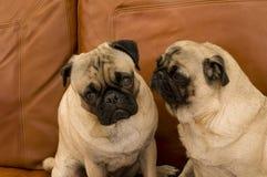 Twee Pugs op de Laag van het Leer Royalty-vrije Stock Foto's