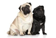 Twee pugs op een witte achtergrond Stock Foto