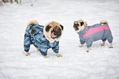 Twee Pugs in openlucht Stock Afbeelding