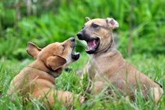 Twee Puppy Stock Afbeeldingen