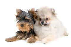 Twee puppy stock foto's