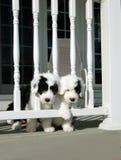 Twee Puppy Royalty-vrije Stock Fotografie