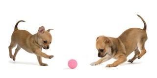 Twee puppy die bal spelen stock afbeeldingen