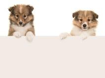 Twee puppy die van de sheltlandherdershond over een karton hangen borde Royalty-vrije Stock Afbeeldingen