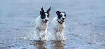 Twee puppy die van waakhond op water lopen Stock Fotografie