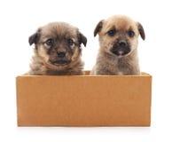 Twee Puppy in een Doos Stock Foto's