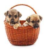 Twee puppy in een mand Stock Foto's