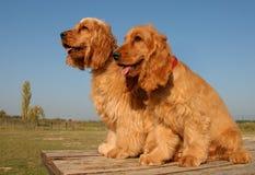 Twee puppy Engelse cockers royalty-vrije stock foto