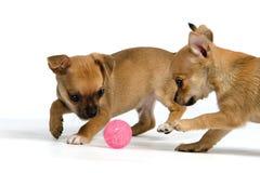 Twee puppy met bal royalty-vrije stock afbeeldingen