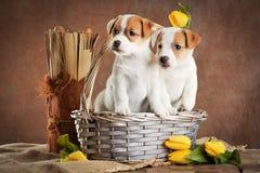 Twee puppy in rieten mand en boeket van gele tulpen op bruine achtergrond royalty-vrije stock afbeeldingen