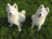Twee puppy Samoyed Stock Foto's