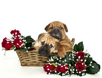 Twee Puppy Snuggling van pei Shar Stock Foto