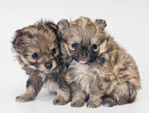 Twee puppy in studio stock fotografie