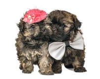Twee puppy in studio stock afbeelding