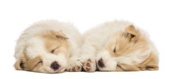Twee puppy van Border collie, 6 weken oud, het liggen en het slapen Stock Afbeeldingen